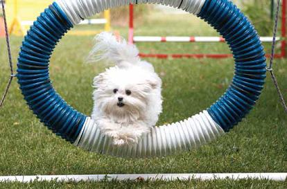 Photo of Buster doing agility