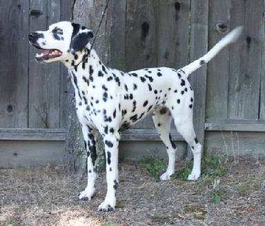 Photo of Gigi, Dalmatian with normal uric acid.