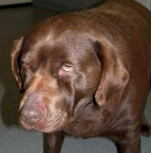 Photo of hypothyroid dog with tragic expression.