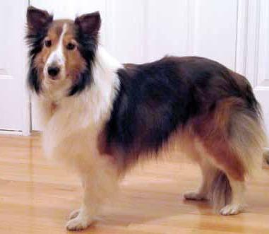 Photo of Shetland Sheepdog, one of the breeds affected by the MDR1 Mutation