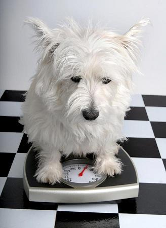 Photo of Westie on scale